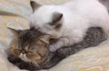 子猫をマッサージする子猫