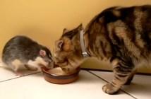 ネズミと一緒にミルクを飲む猫