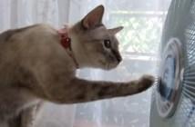 扇風機に目を回す猫