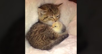 子猫とヒヨコ