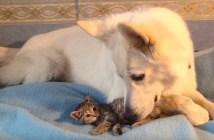 子猫を育てる犬のお父さん