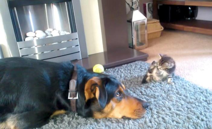 子猫を押す犬