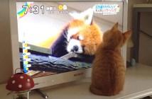 レッサーパンダに興味津々の子猫