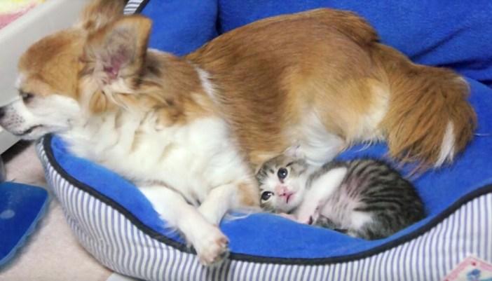 チワワと子猫