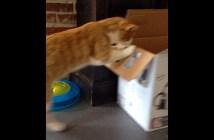 箱に飛び込む猫