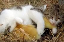 アヒルのヒナを育てる猫のお母さん