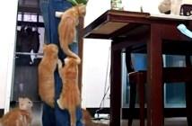 人間登りをする子猫
