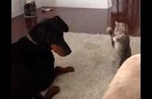 ドーベルマンに猫パンチする子猫
