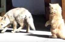 子猫と子ギツネの可愛いじゃれ合い