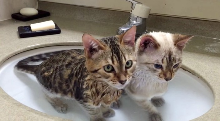 お風呂に入る猫