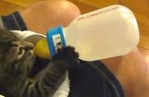 自らミルクを飲む子猫