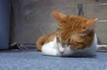 プルプルしながら我慢する猫