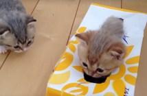 ティッシュボックスで遊ぶ子猫