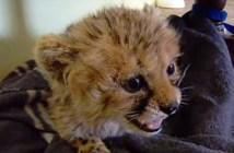 チーターの赤ちゃん