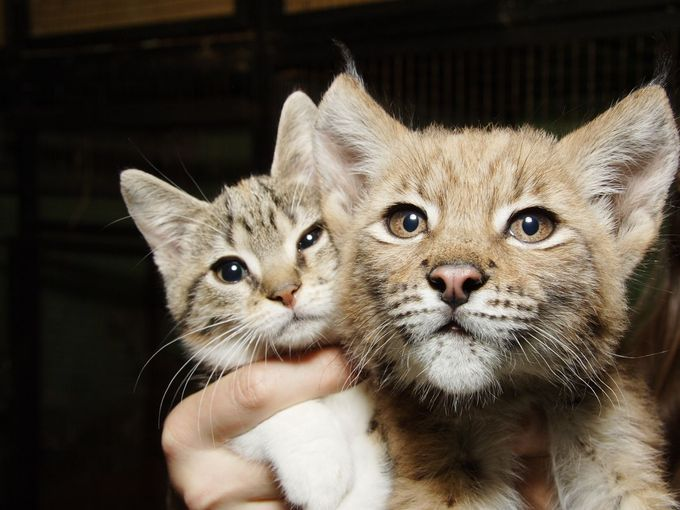 大きさが違うオオヤマネコと猫