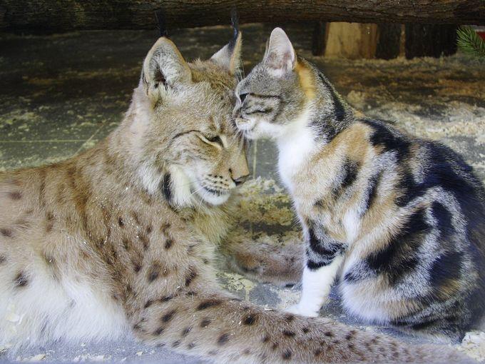 とっても仲良しなオオヤマネコと猫