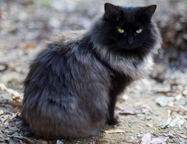 銀色の毛が生えた猫