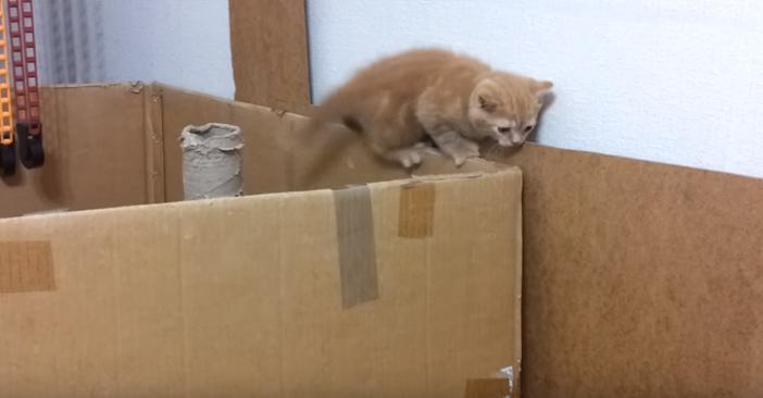 頑張ってダンボールを移動してくる子猫