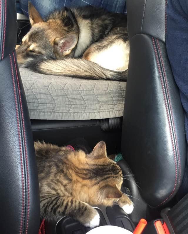 車の中で眠る犬と猫