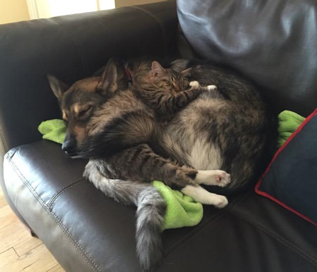 いっしょにシートで眠る犬と猫