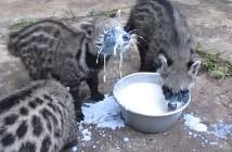 ミルクを飲むジャコウネコ