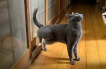 戸をノックする猫