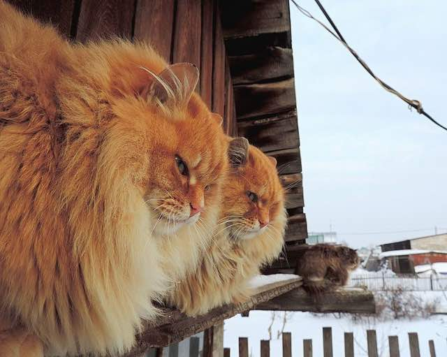 シベリア猫。サイベリアン