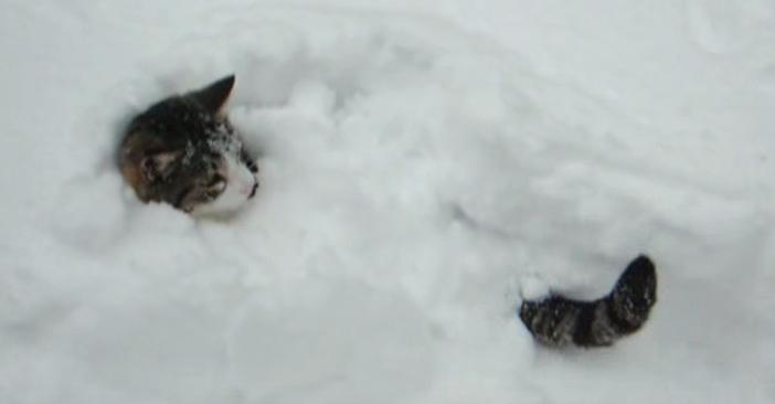 雪の中から顔としっぽを出す猫