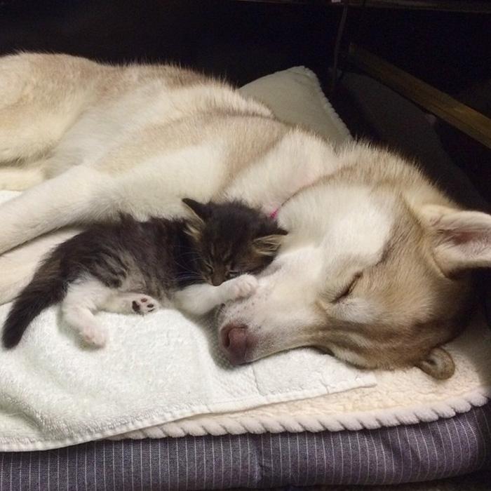 いっしょに眠るハスキー犬と子猫