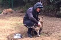 子ジャガーを撫でていると子トラが