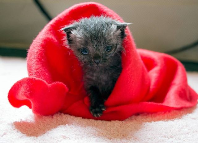 赤いタオルで包まれる子猫