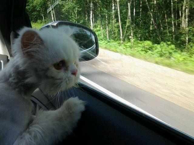 病院に向かう猫