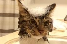 お風呂でシャンプーする猫