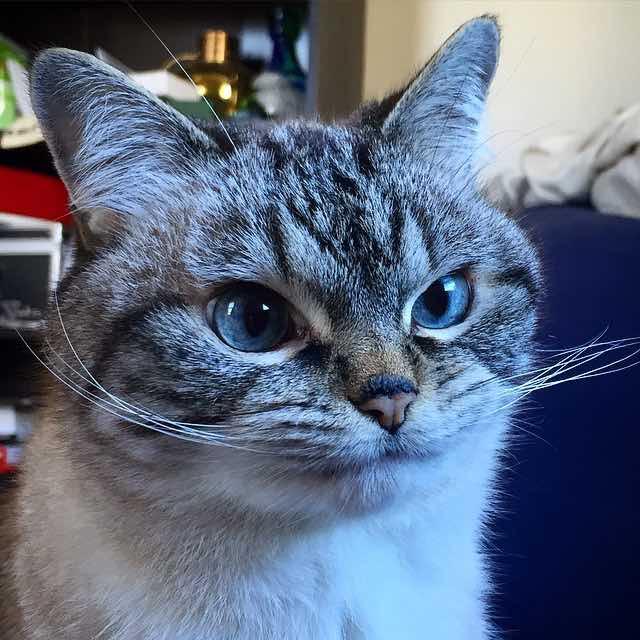 口を閉じる牙のある猫ロキ