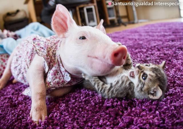 遊ぶ子ブタと子猫