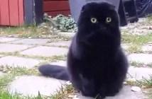 変身前の黒猫