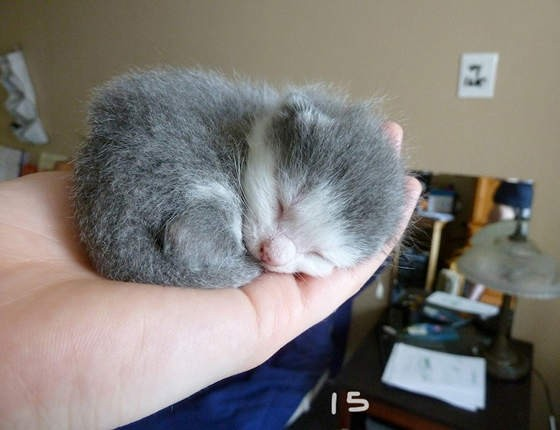 手乗り子猫