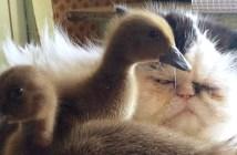 2羽のアヒルの子を見る猫