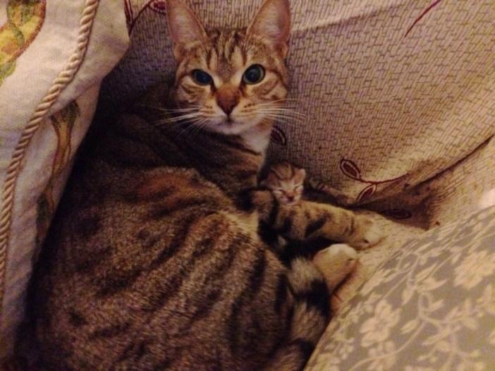 妊娠していた猫のお母さん