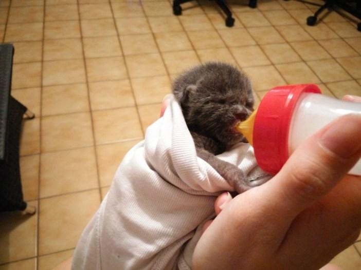 ミルクをたくさん飲む子猫