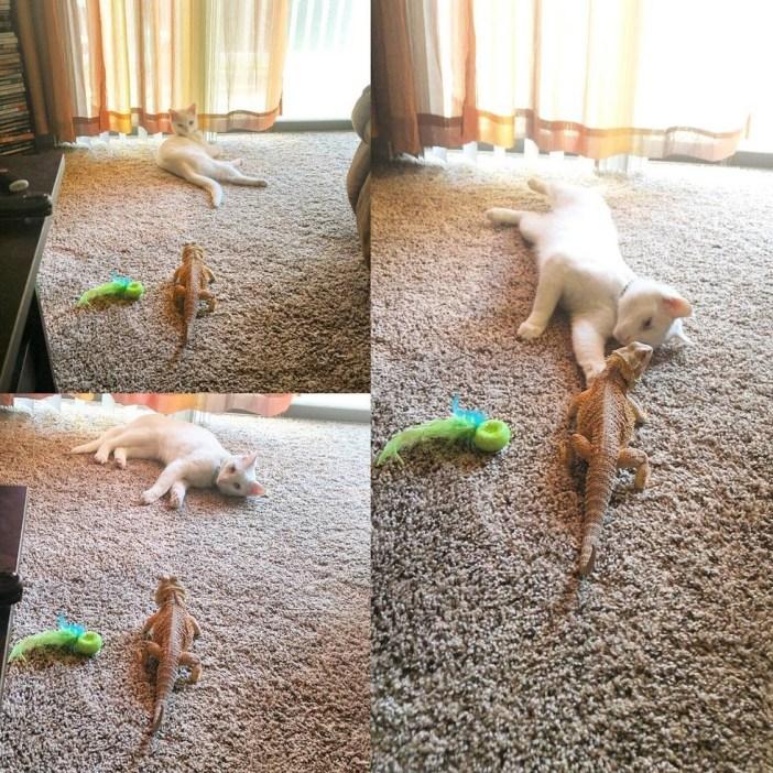 ゴロゴロするトカゲと猫
