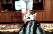 テレビを飼い主さんに邪魔される猫