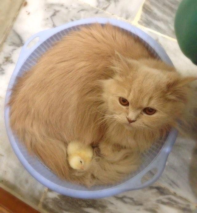ヒヨコを抱える猫