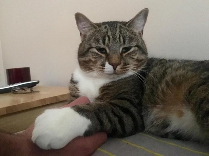 大きな手を持つ猫