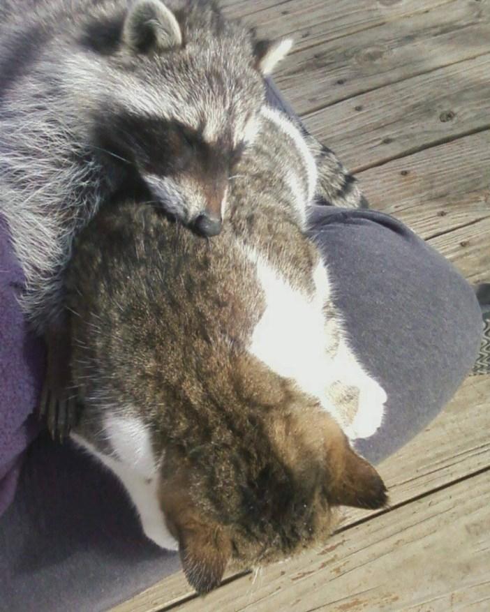 猫と一緒のアライグマ