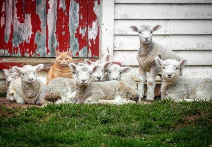 猫と羊が集合