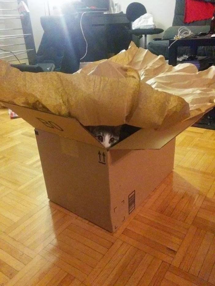 ダンボールの中に入る子猫