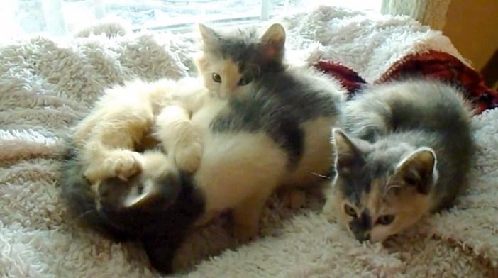 三毛猫のオス