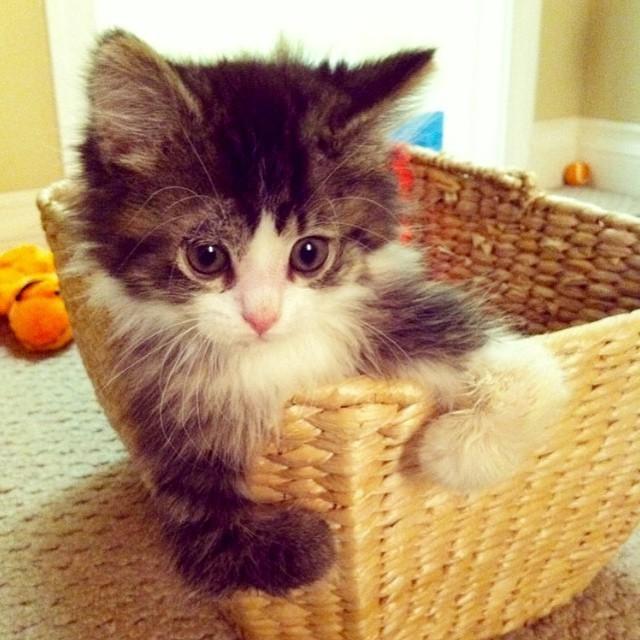 かごに入る子猫
