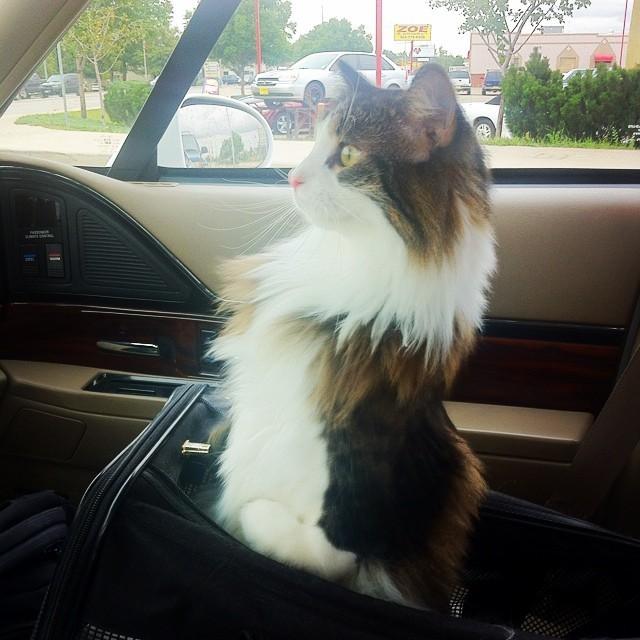 座席に座る猫